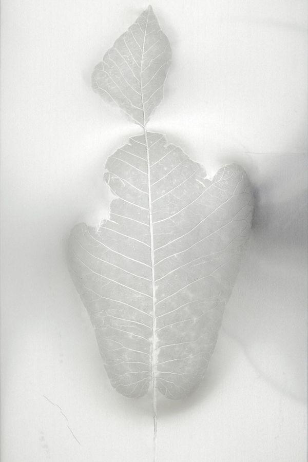 Léa Barbazanges - Magnolia macrophylla — Les masques Triptyque
